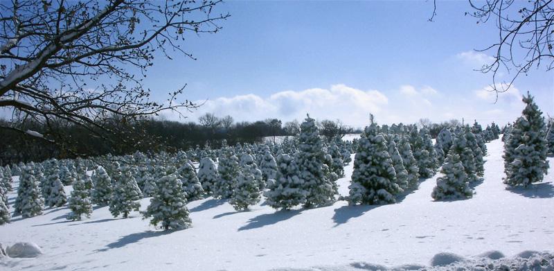 Strawberry Hill Christmas Tree Farm
